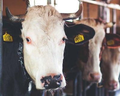 cow wearing an rfid ear tag in both ears